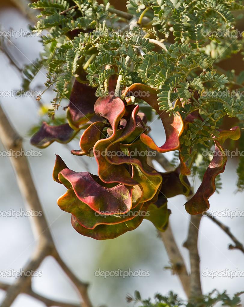 Kameeldoring or Camelthorn Seeds (Acacia Erioloba)