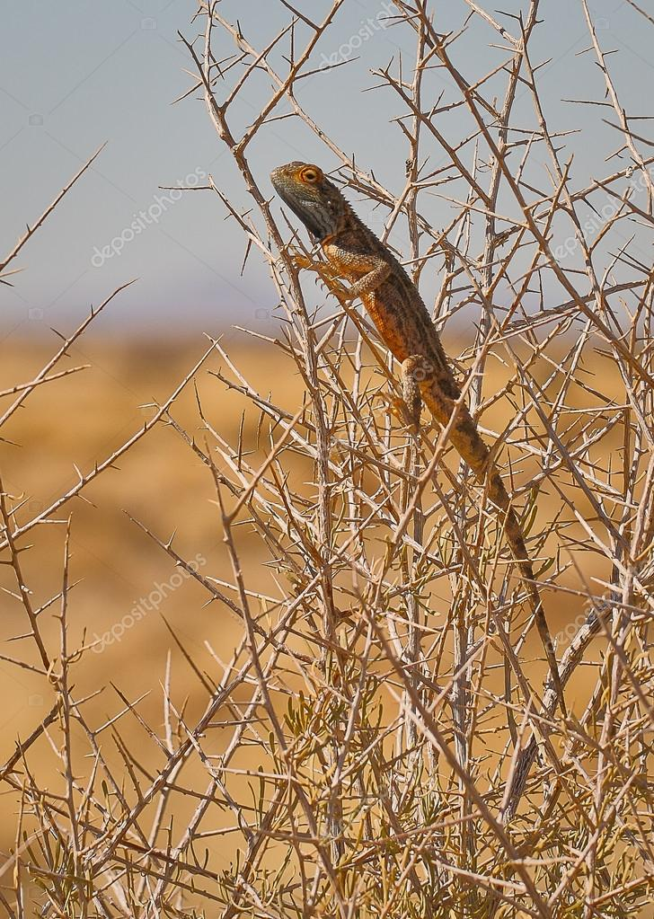 Agama Lizard, Namib Desert