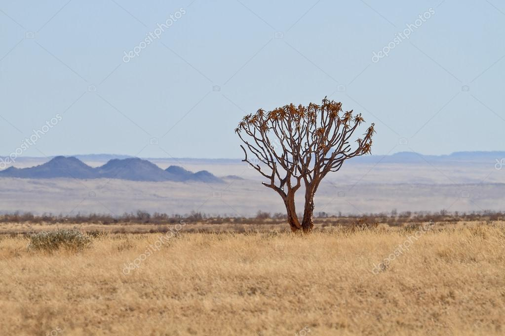 Quiver Tree or Kokerboom, Namibia