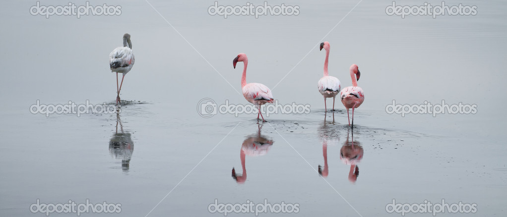 Flamingo wading in the lagoon
