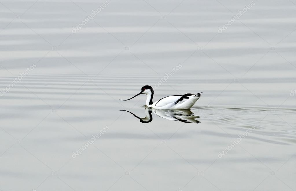 AVOCET wading in a lagoon