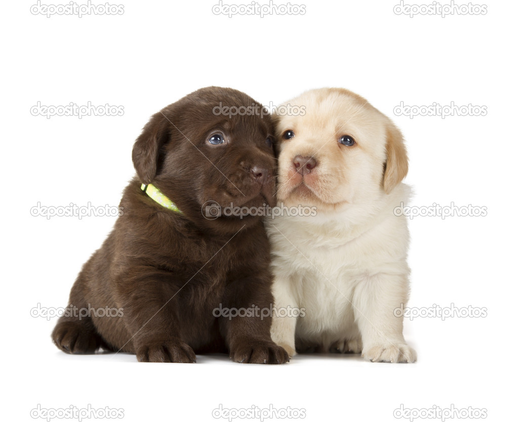 Schokolade Schoko Labrador Retriever Welpen Stockfoto