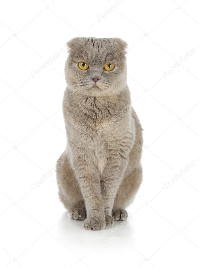 Kot Szkocki Zwisłouchy Zdjęcie Stockowe Artsilense 33607953