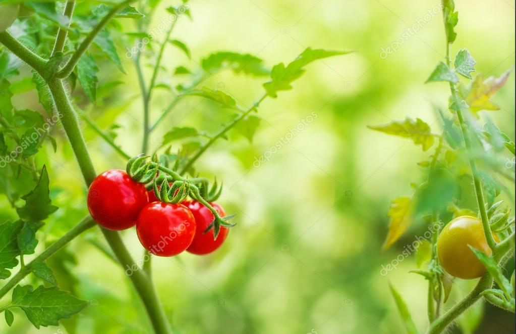 Cherry tomatoes in a garden