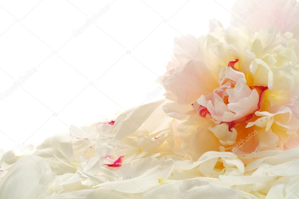 Peony and petals