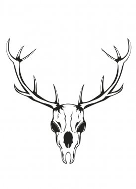 Skull of deer with horns