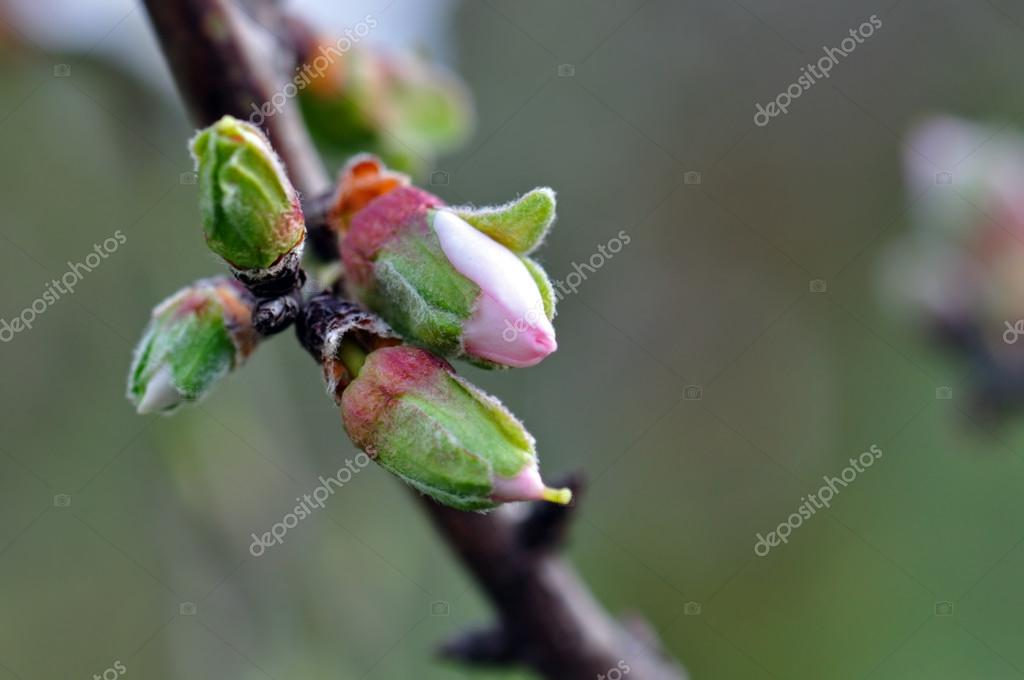 almond flower buds