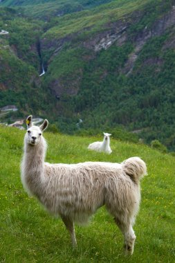 llamas in the mountains.