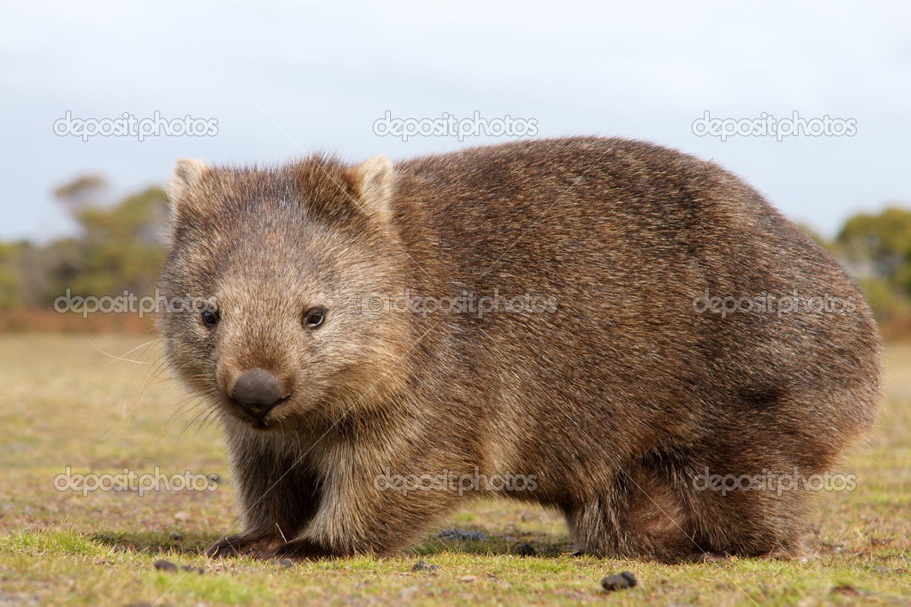 wombat #hashtag