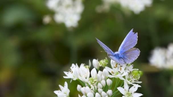 Blauer Schmetterling.