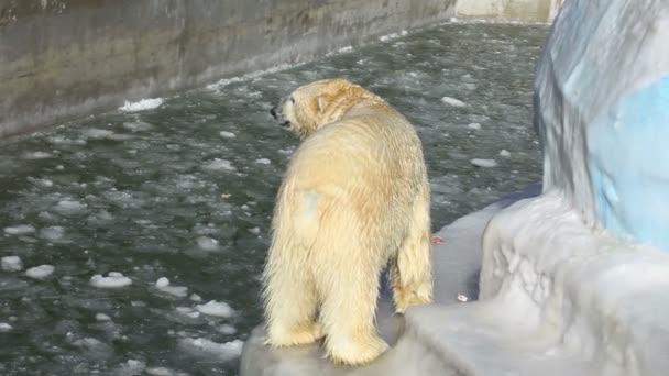 Polar bears in a zoo