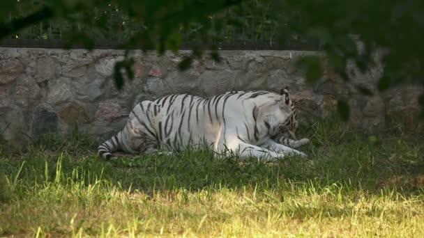 Tiger family.