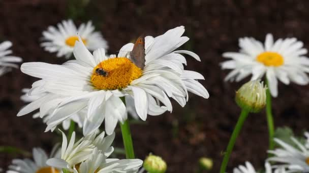Butterfly and bee on a chamomile