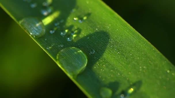 Kapky rosy na trávě list. makro