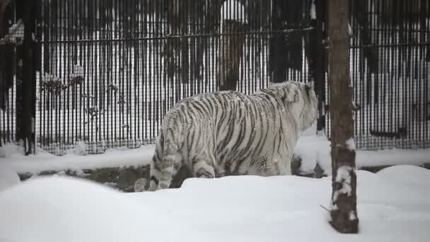 Bengal tiger in zoo