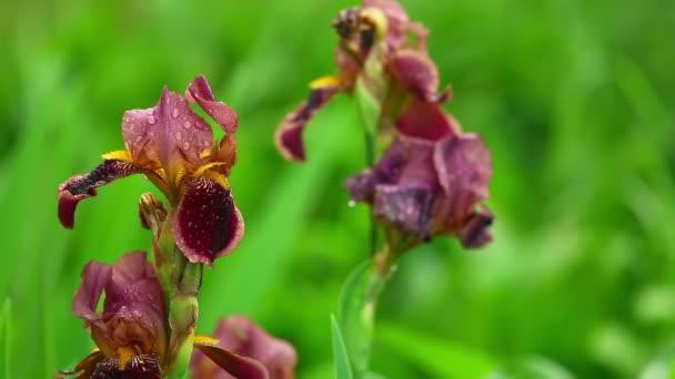 Wet red iris
