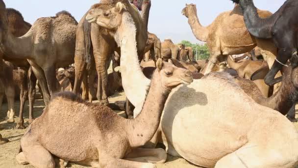 Camels at fair