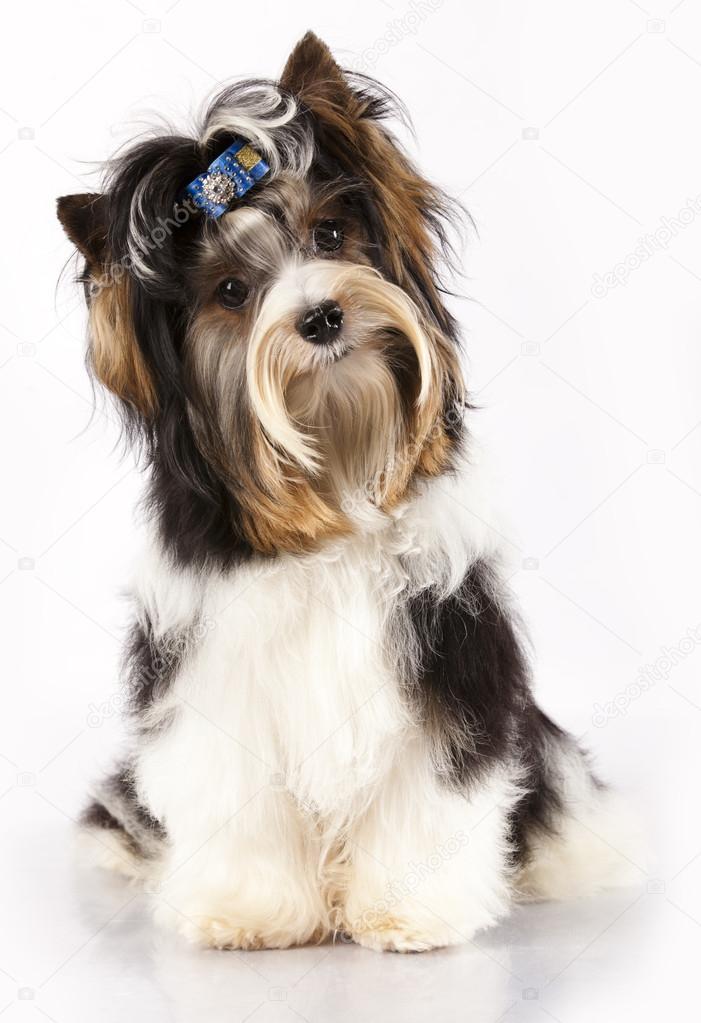 Biewer Yorkshire Terrier Stockfoto C Lilun Li 15034809
