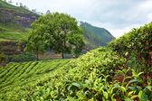 Fotografia campi verdi di tè in sri lanka
