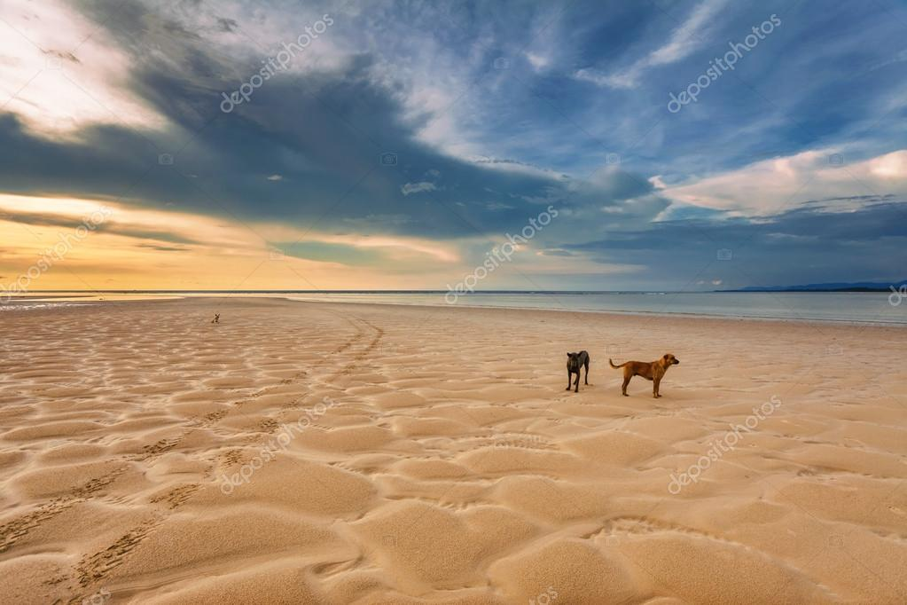Dogs on the beach at sunset