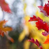 Fotografie Red autumn leaves