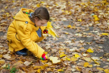 little girl collects fallen maple leaves