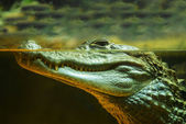 Photo Nile crocodile