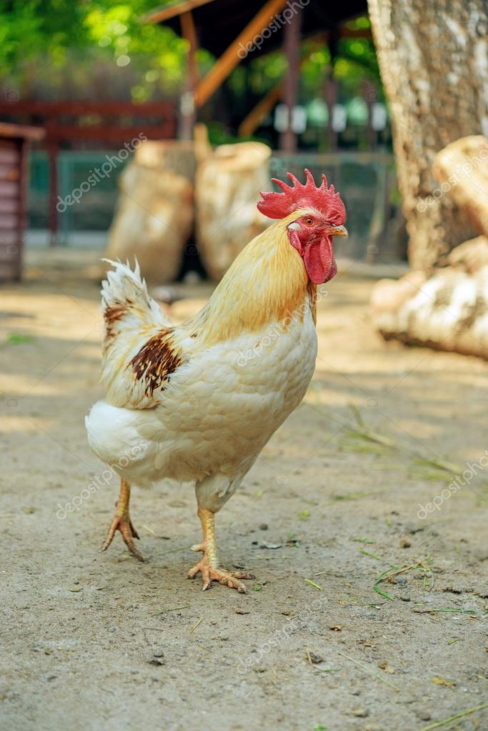 Motley cock