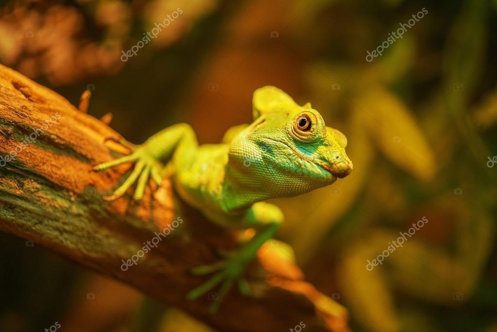 Beautiful large iguana