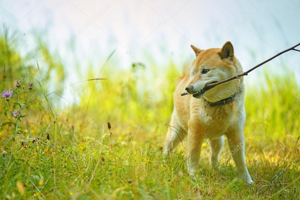 dog brings stick
