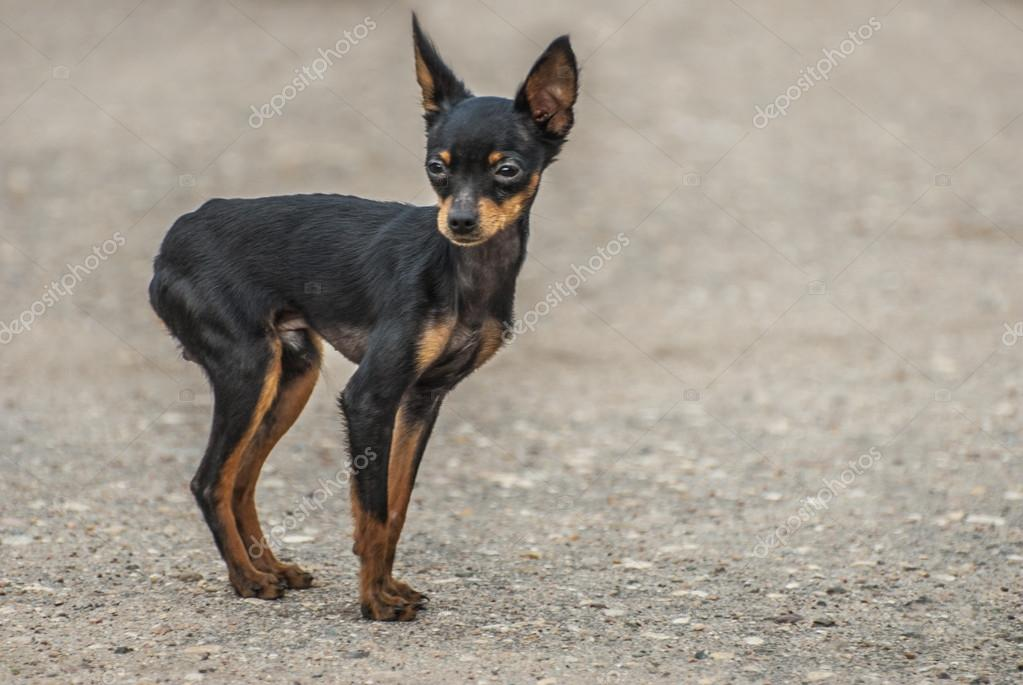 Black toy Terrier