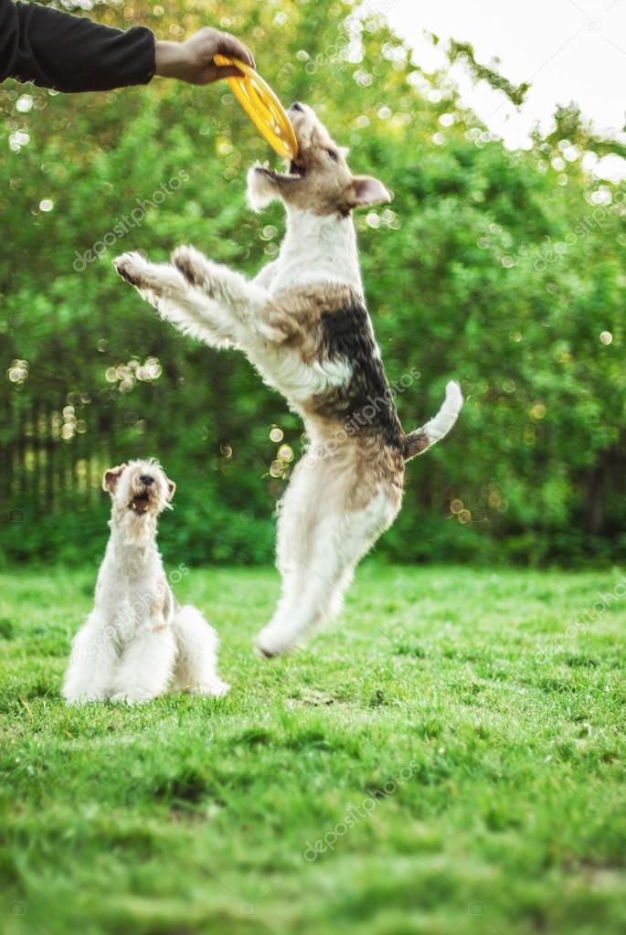 Two young Fox-Terrier