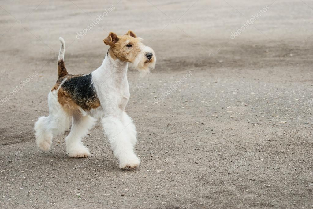 Young Fox-Terrier
