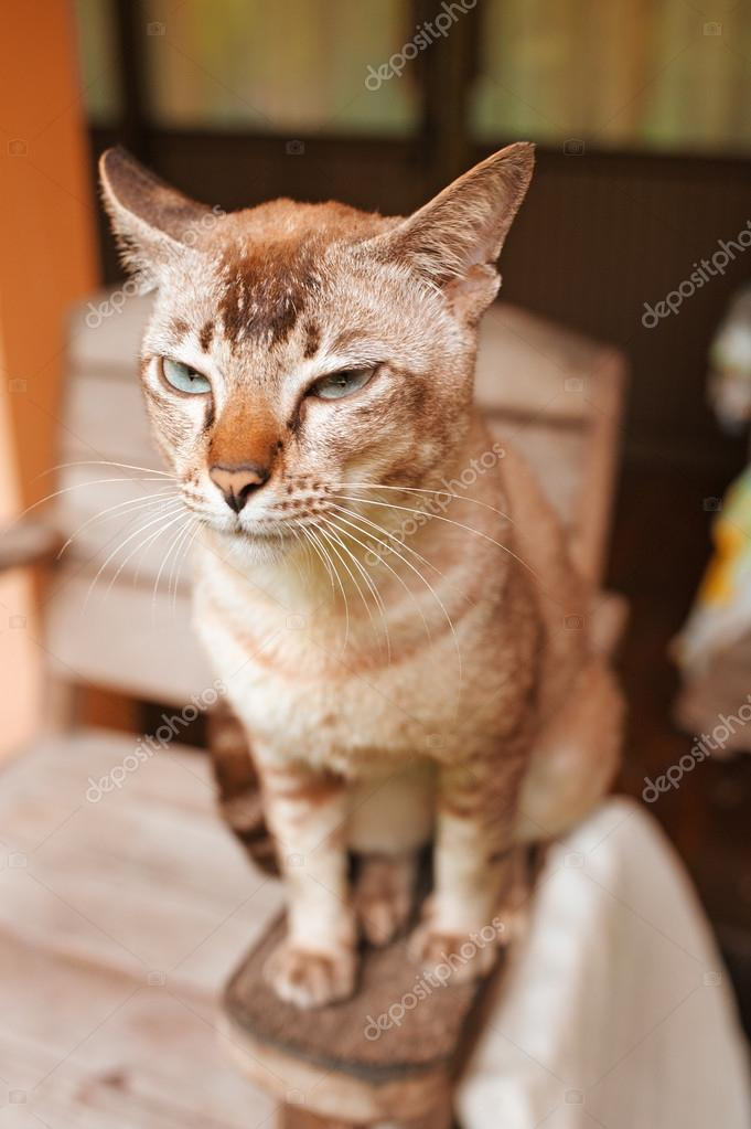 Beautiful cat with brown colouring