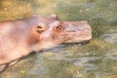 Großes Nilpferd im Wasser.