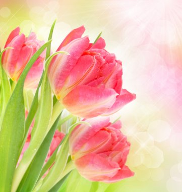 Beautiful background with tulips