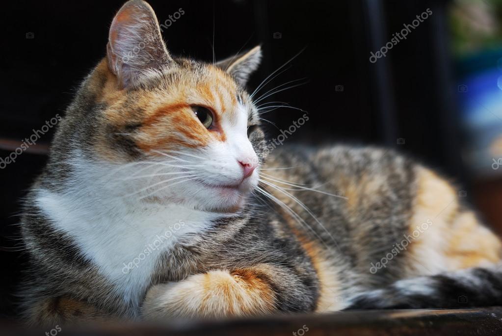 Tricolor Kot Leży Na Fortepian Zdjęcie Stockowe Ollikainen 42011101
