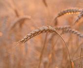 Zavřít pole pšenice