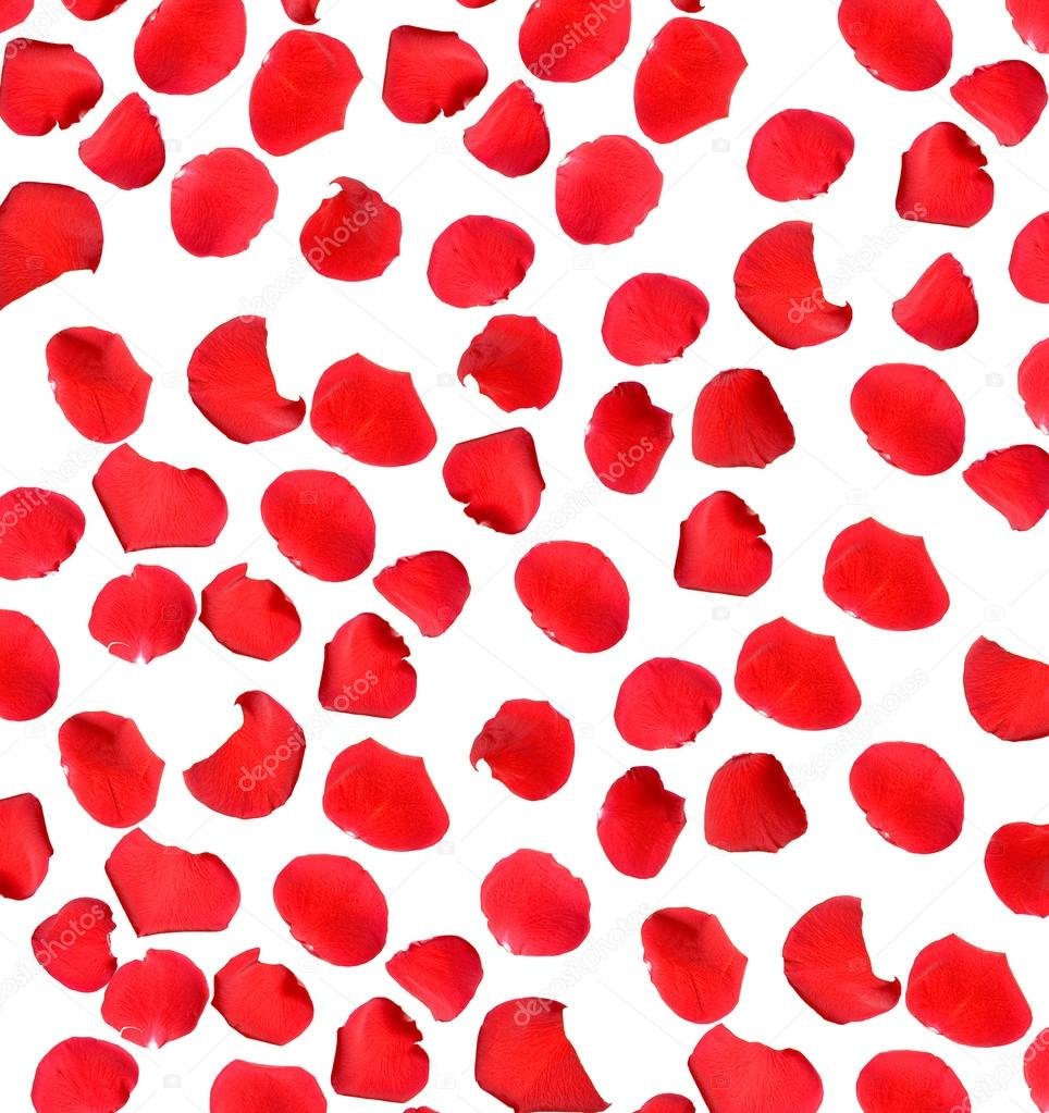 Beautiful red rose petals on white background