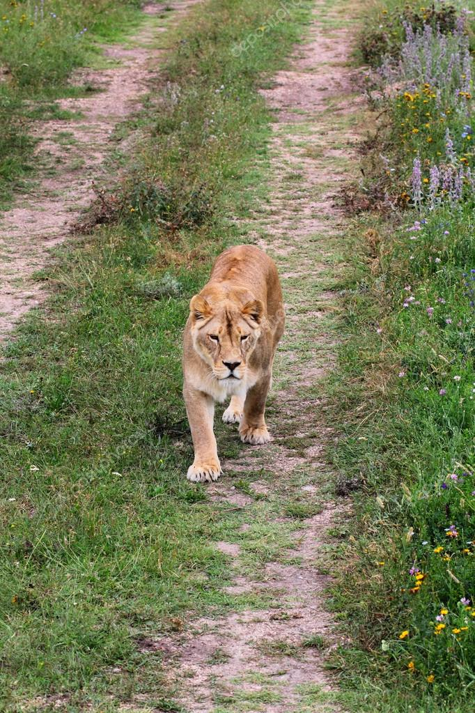 Lioness walking on the road