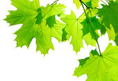 zelené Javorové listy izolované