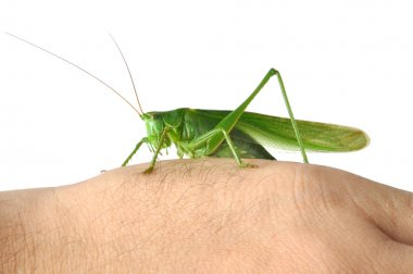 Grasshopper on Hand