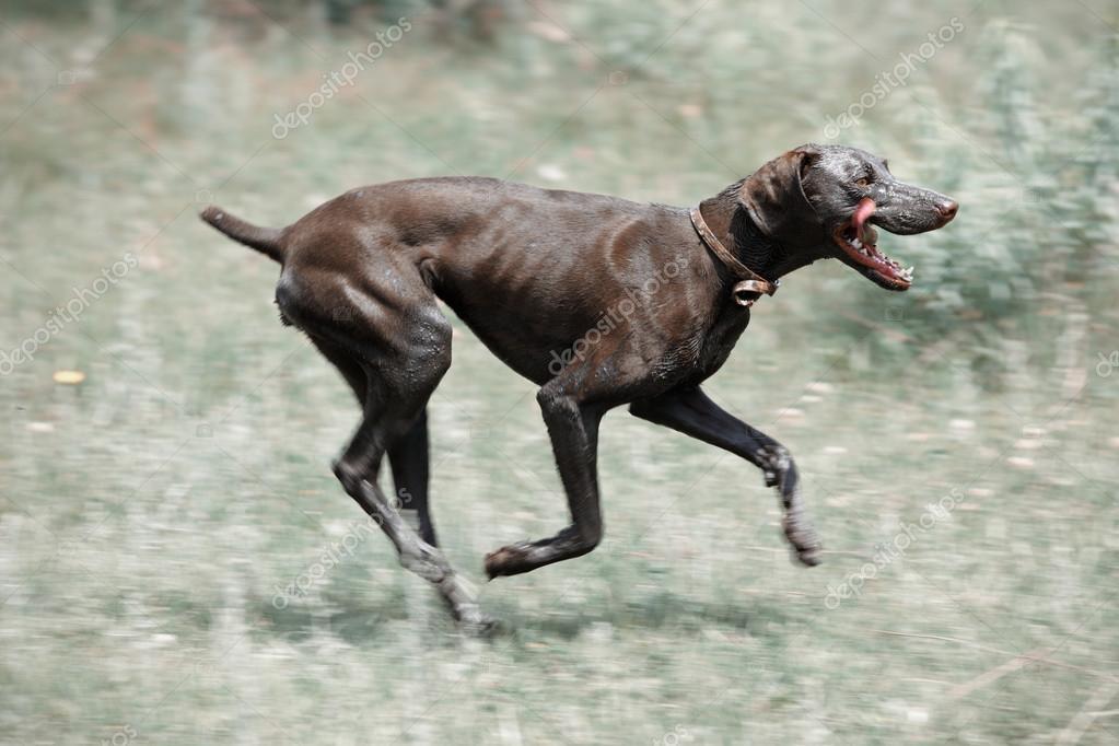 Dirty dog running