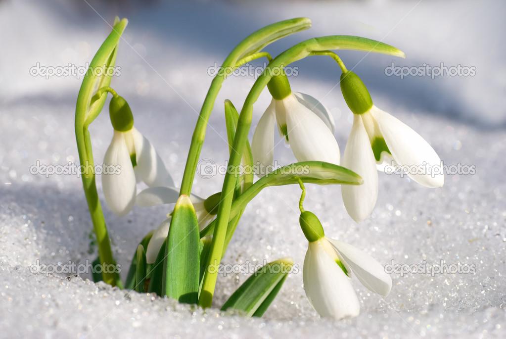 Schneeglockchen Fruhlingsblumen Stockfoto C Dovapi 22890586