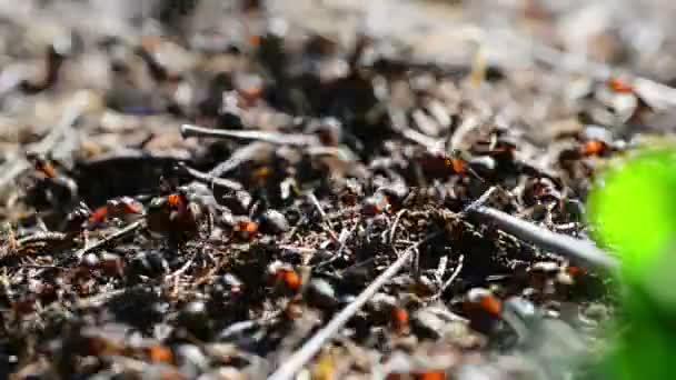 mraveniště v lese s mnoha pohybujících mravenců