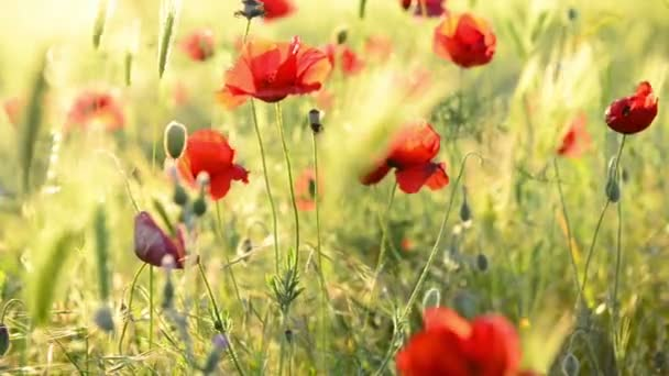 Red poppy on the green field with wheat. Moving focus