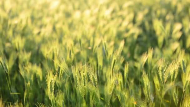 Field of grass on sunset. Nature background, focus motion