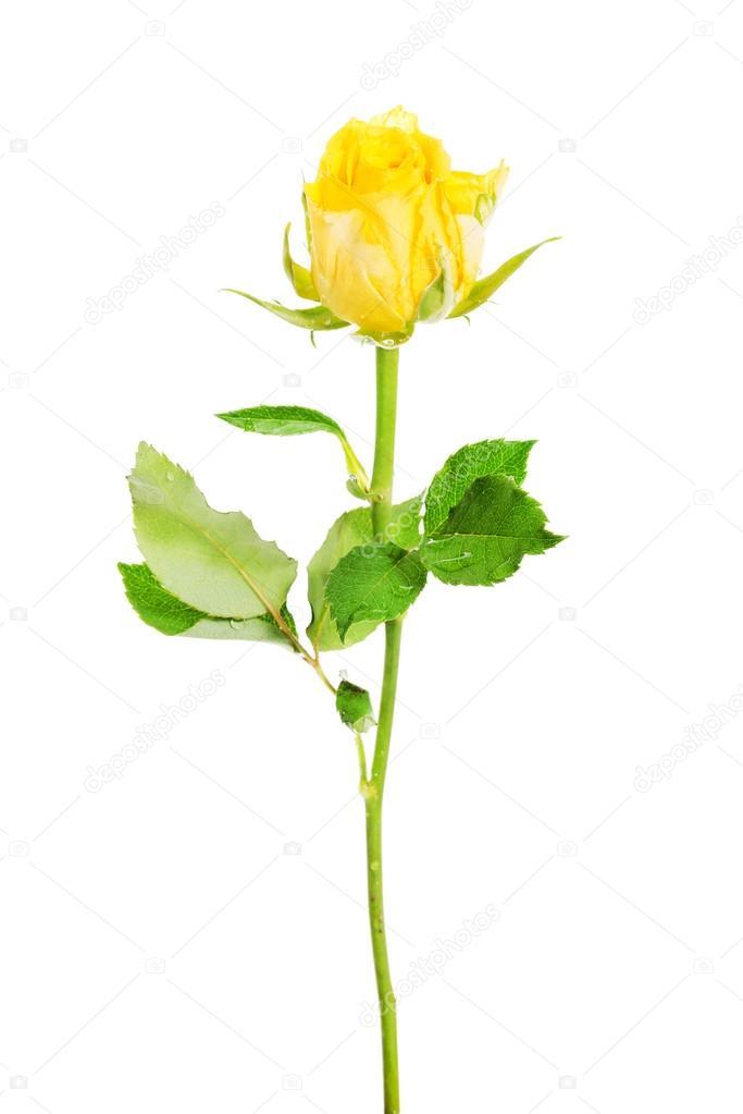 una rosa amarilla separada — Fotos de Stock © piotr_marcinski #36002315