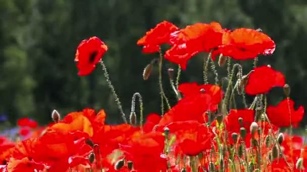 červená tráva - kvetoucí červené Vlčí máky v poli
