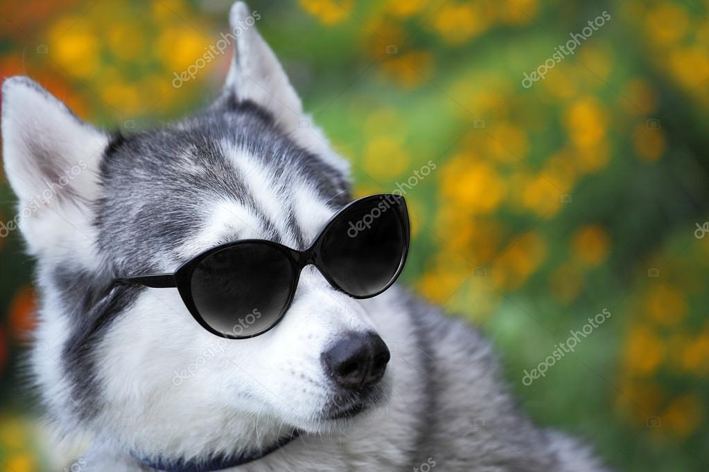 9601457ed0b Husky with sunglasses looks like a teacher — Stock Photo © kaczor58 ...